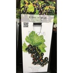 Eetbare tuin-edible garden Ribes nigrum Titania - Zwarte bes