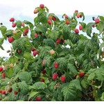 Eetbare tuin-edible garden Rubus idaeus Zefa Herbsternte - Framboos