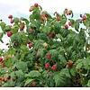 Eetbare tuin-edible garden Rubus idaeus Heritage - Framboos