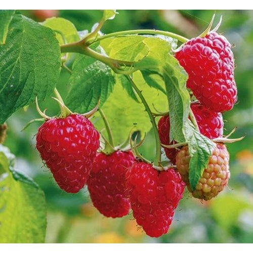 Eetbare tuin-edible garden Rubus idaeus Malling Promise - Framboos