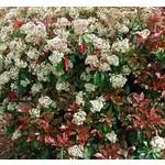 Bloemen-flowers Photinia fraseri Little Red Robin - Glansmispel