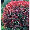 Bloemen-flowers Photinia phrase Little Red Robin - Glossy