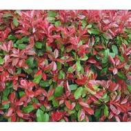 Bloemen-flowers Photinia phrase Little Red Robin - Glossy