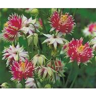 Bloemen-flowers Aquilegia vulgaris Nora Barlow - Akelei