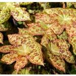 Blad-leaf Podophyllum Spotty Dotty - Voetblad