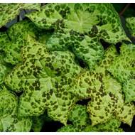 Blad-leaf Podophyllum Spotty Dott