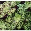 Blad-leaf Podophyllum Spotty Dotty
