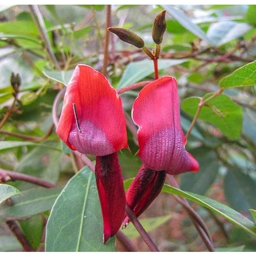 Bloemen-flowers Kennedia rubicunda