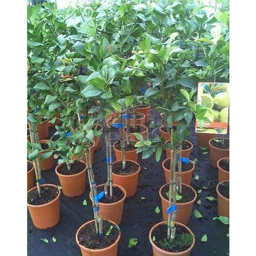 Eetbare tuin-edible garden Citrus limonum - Citrus limon - Lemon