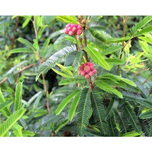 Bloemen-flowers Calliandra Dixi Pink - Surinaamse poederdons