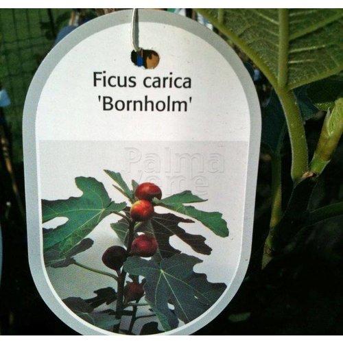 Eetbare tuin-edible garden Ficus carica Bornholm - Hardy fig tree