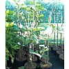 Eetbare tuin-edible garden Ficus carica Bornholm - Winterharde vijgenboom