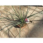 Woestijn-desert Hesperaloe parviflora - Red yucca