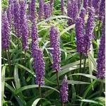Bloemen-flowers Liriope muscari Moneymaker - Lily grass