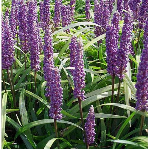 Bloemen-flowers Liriope muscari Moneymaker - Leliegras