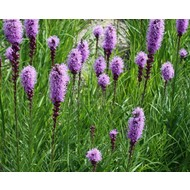 Bloemen-flowers Liatris spicata - Lampenpoetser