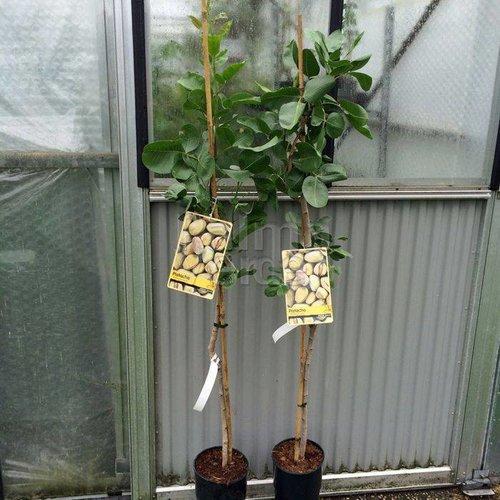 Bomen-trees Pistacia vera - Pistacheboom