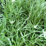 Bloemen-flowers Leontopodium alpinum - Edelweiss