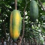 Eetbare tuin-edible garden Carica pentagona - Vasconcellea x heilbornii - Babaco papaya