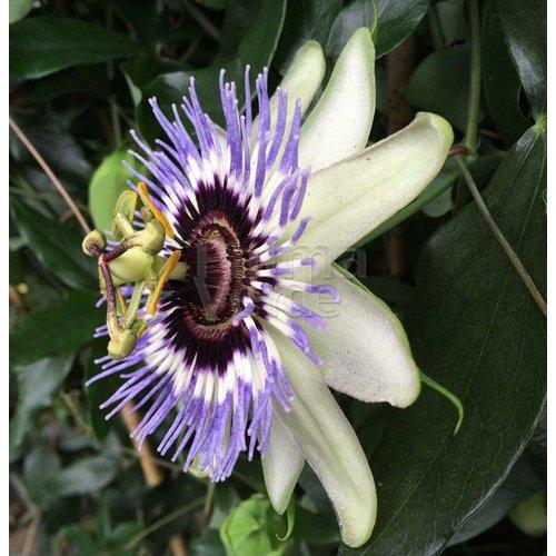 Bloemen-flowers Passiflora caerulea - Passieflora