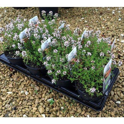 Bloemen-flowers Thymus vulgaris - Tijm