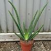 Blad-leaf Aloe vera