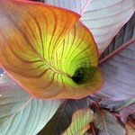 Bloemen-flowers Canna musafolia Rubrum - Banana canna