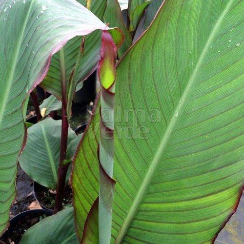 Bloemen-flowers Canna musafolia - Banana canna