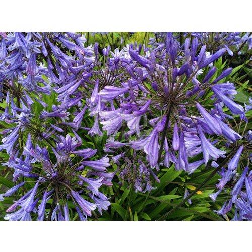 Bloemen-flowers Agapanthus africanus Dr. Brouwer