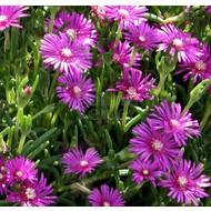 Bloemen-flowers Delosperma cooperi - IJsbloem