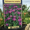 Bloemen-flowers Delosperma cooperi