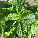 Eetbare tuin-edible garden Mentha spicata - Groene munt - Aarmunt