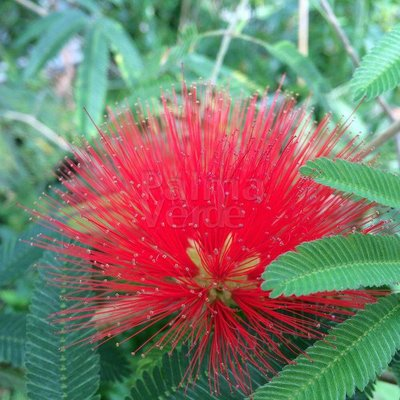 Bloemen-flowers Calliandra tweedii