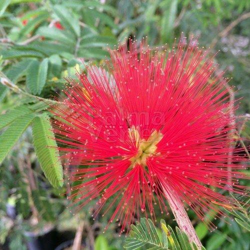 Bloemen-flowers Calliandra tweedii