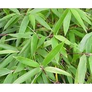 Bamboe-bamboo Fargesia denudata Xian 2