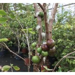 Eetbare tuin-edible garden Myrciaria cauliflora - Jabuticaba - Guapuru - Brazilian grape tree