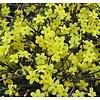 Bloemen-flowers Jasminum nudiflorum - Winter Jasmine