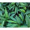 Eetbare tuin-edible garden Alpinia galanga - Laos