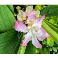 Eetbare tuin-edible garden Curcuma longa - Turmeric - Koenjit