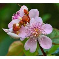 Bloemen-flowers Bixa orellana - Orlean tree