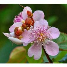 Bloemen-flowers Bixa orellana - Orleaanboom
