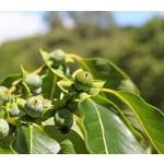 Eetbare tuin-edible garden Diospyros lotus - Lotus tree