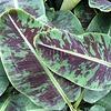 Bananen-bananas Musa acuminata Dwarf Cavendish