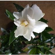 Bloemen-flowers Gardenia jasminoides Kleim's Hardy - Gardenia parfum