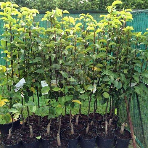 Eetbare tuin-edible garden Pyrus pyrifolia Nashi - Nashi pear