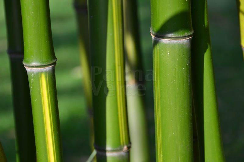 Maintenance and care of bamboo plants - Palma Verde Exoten
