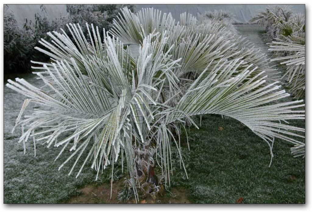 Winter protection of palm trees