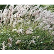 Siergrassen-ornamental grasses Miscanthus sinensis Yakushima Dwarf - Prachtriet - Japans sierriet