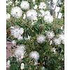 Bloemen-flowers Calliandra portoricensis