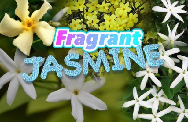 Delicious fragrant jasmines